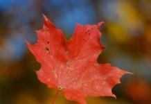Liść symbolizujący flagę Kanady