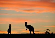 kangury o świcie