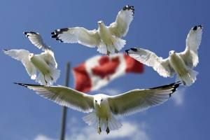 gołębie w tle kanadyjskiej flagi