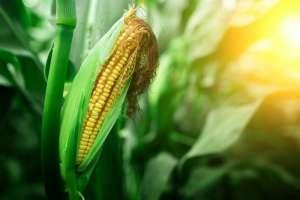 Notowania kukurydzy przekraczają 3,60 USD za buszel