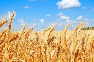 Cena pszenicy w USA najtańsza od miesiąca