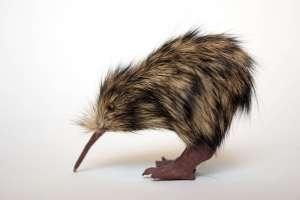 a kiwi kiwi kiwi