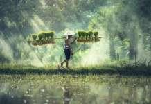 azjatyckie pole ryżu