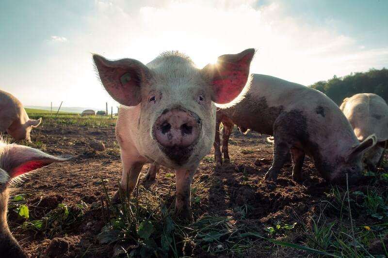 Świnia na wybiegu