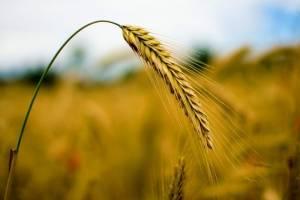 Notowania pszenicy ze wzrostowym tygodniem