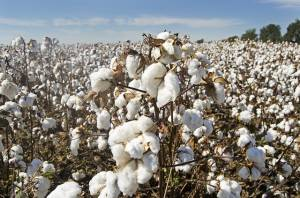 Kurs bawełny rośnie dzięki zainteresowaniu Chin